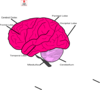 Brain And Lables Clip Art