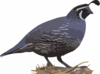 California Quail Clip Art