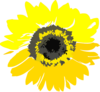 Yellow Sunflower Clip Art
