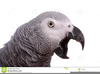 African Grey Parrot Clipart Image