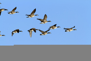 Flying Goose Formation Clipart Image