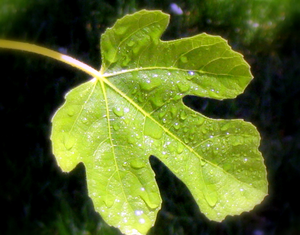 Fig Leaf Image