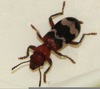 Checkered Beetle Image