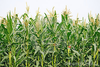 Agriculture Corn Field Thumb Image
