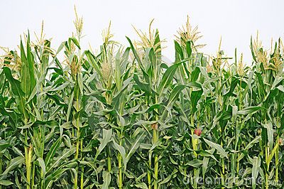 agriculture corn field thumb free images at clker com vector rh clker com cornfield clip art free cornfield clip art free