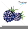 Blackberry Fruit Clipart Image