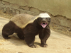Honey Badger Image