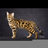 Domestic Bengal Cats Image