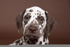 Brown Spotted Dalmatian Image