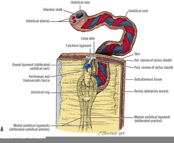 Umbilical Cord Anatomy Free Images At Clker Vector Clip Art