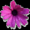 African Daisy Image