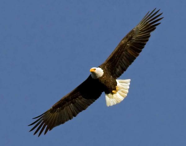 clip art soaring eagle - photo #15