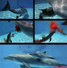 Dolphin Giving Birth Image