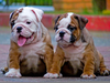 English Bulldog Puppies Image