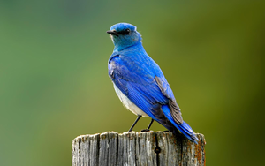Mountain Blue Bird X Image