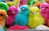 Rainbow Colored Chickens Image