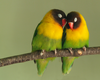 Love Birds Movie Stuff Image