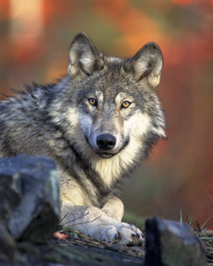 Canis Lupus Laying Image