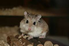 Hamsters Like Eleanore Image