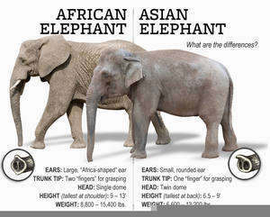 Elephant Pngimg : Elephant illustration, african bush elephant asian elephant african forest elephant elephant blog, cute elephant, grey elephant illustration, mammal, carnivoran png.