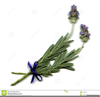 Free Lavender Clipart Image