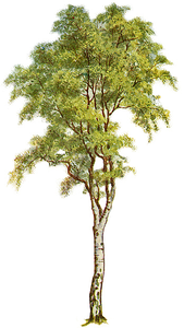 Tree Clipart Image