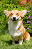 Happy Corgi Pictures Image