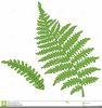 Silver Fern Free Clipart Image