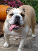 English Bulldog Image