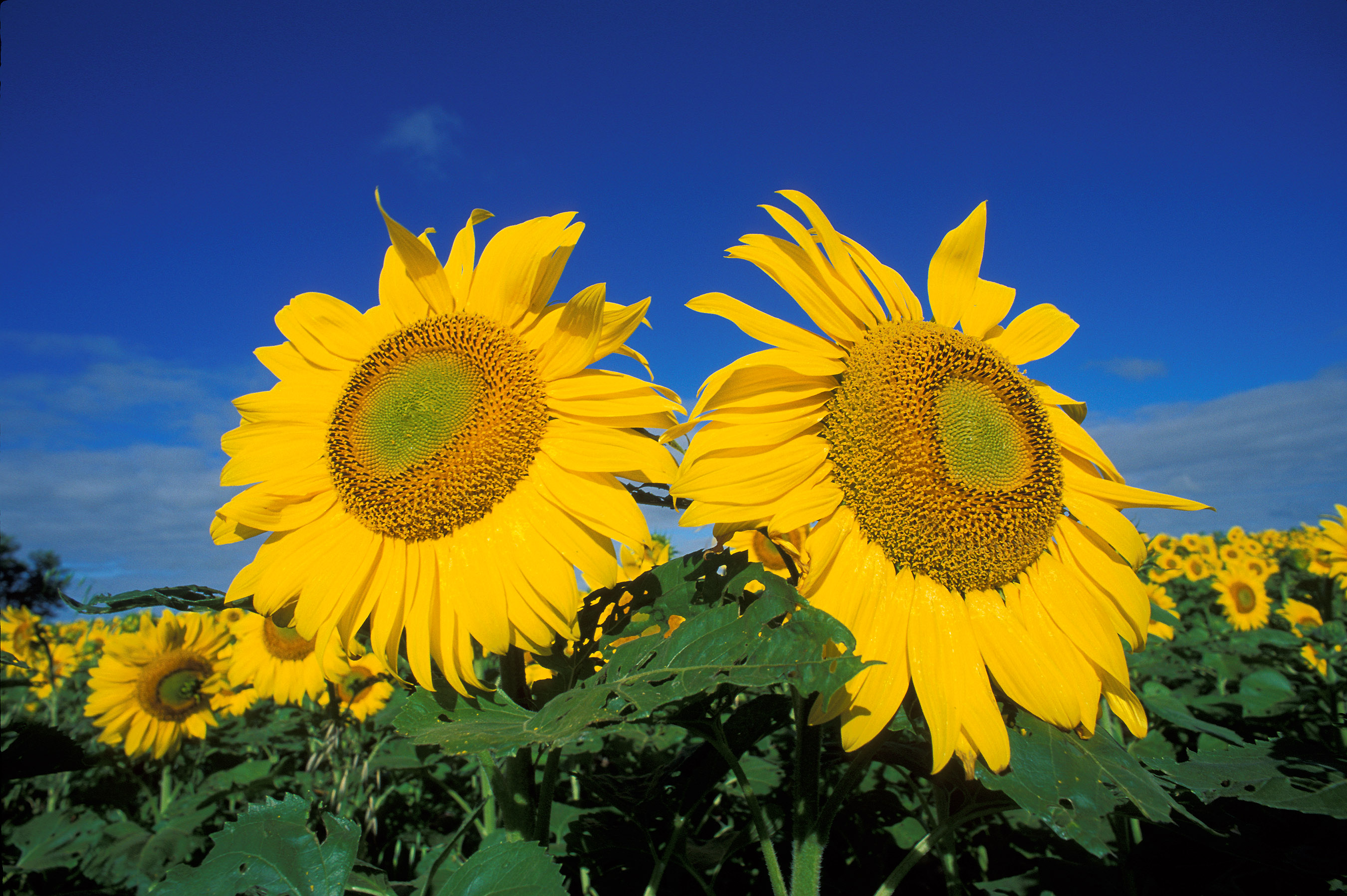 Sunflowers   Free Images at Clker.com - vector clip art ...