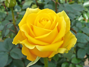 Yellow Roses Images Image