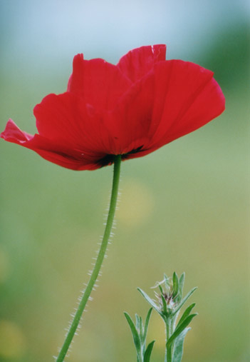 Red poppy flowers picture lowres free images at clker vector red poppy flowers mightylinksfo