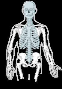 Axial Skeleton Clean Clip Art at Clker com vector clip