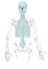 Axial Skeleton - Clean Clip Art