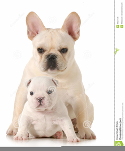 English Bulldog Clipart Free Image