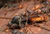 Army Ant Male Image