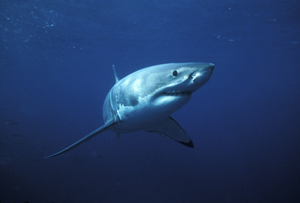 Great White Image