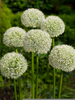 Allium White Giant Image