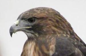 Hawk Profile Clip Art