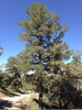 Limber Pine Images Image