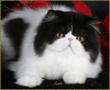 Beautiful Persian Cat Image