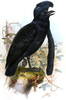 Umbrellabird Image