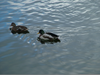 Ducks Swimming Clipart Image