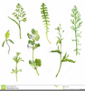 Herb Drawing Clipart Image