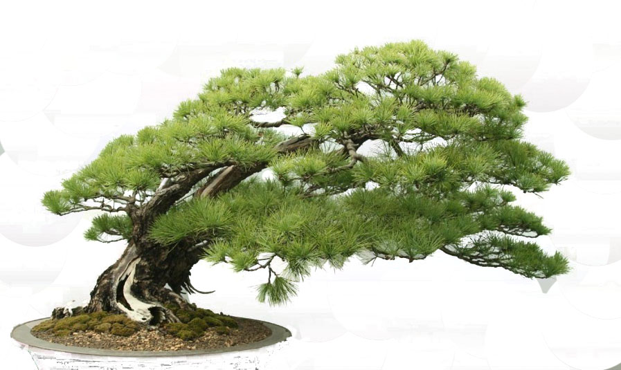 Bonsai Tree Free Images At Clker Com Vector Clip Art Online Royalty Free Public Domain