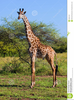 Free African Animals Clipart Image