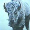 Bison Icon Image
