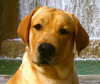 Yellow Lab Image