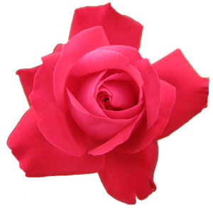 Red Rose Transparent Isolated Image