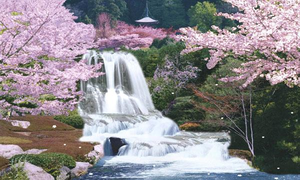 Sagura Japan Cherry Blossom Moving Waterfall Image